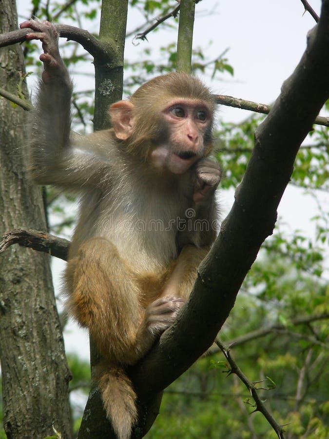Imitujący przedstawienie z małpą zdjęcia royalty free