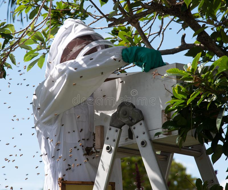 Imker Collecting Cluster van Honey Bees stock foto's