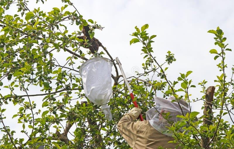 Imker, der einen Bienenschwarm auf einem Apfelbaum gefangennimmt lizenzfreie stockfotografie