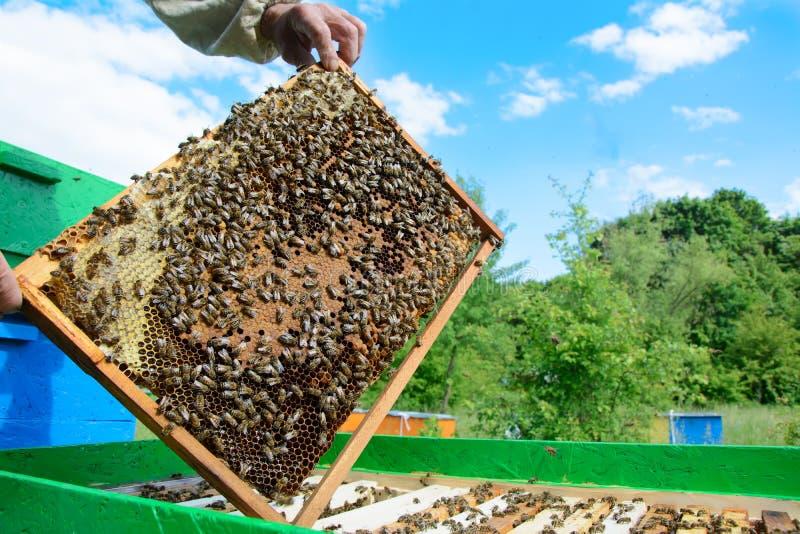 Imker die een honingraathoogtepunt van bijen houden Imker Inspecting Honeycomb Frame bij Bijenstal Imkerijconcept stock foto