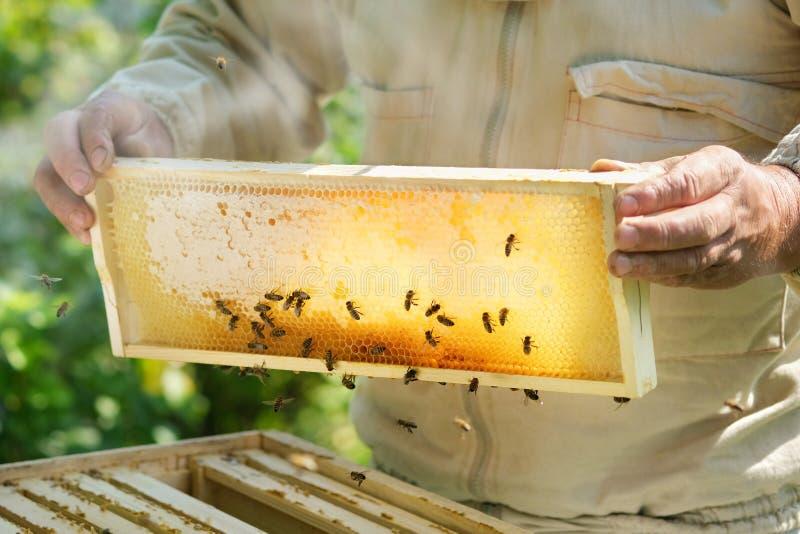 Imker die een honingraathoogtepunt van bijen houden Imker Inspecting Honeycomb Frame bij Bijenstal Verse honing stock fotografie