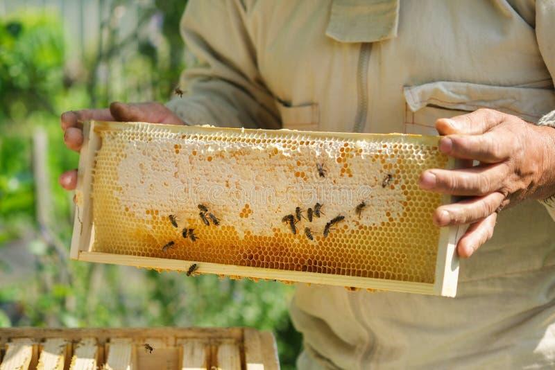 Imker die een honingraathoogtepunt van bijen houden Imker Inspecting Honeycomb Frame bij Bijenstal Verse honing royalty-vrije stock afbeeldingen
