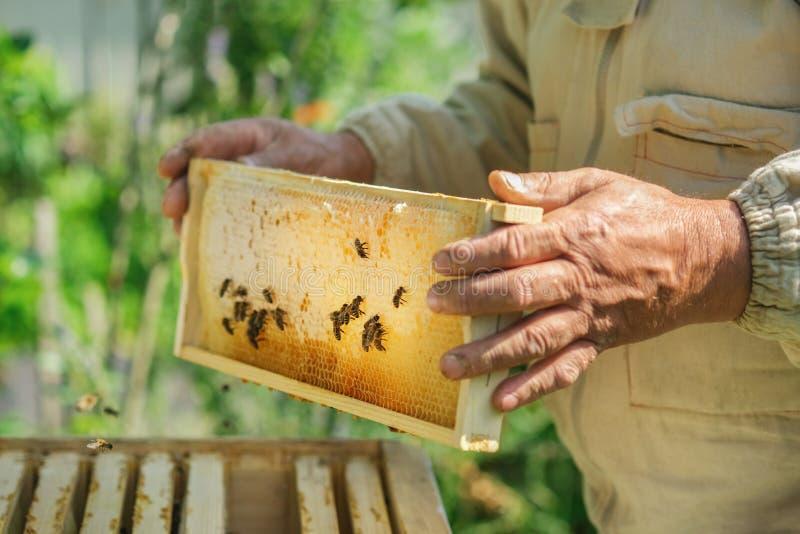 Imker die een honingraathoogtepunt van bijen houden Imker Inspecting Honeycomb Frame bij Bijenstal Verse honing stock afbeelding