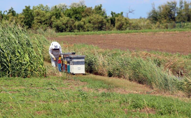 Imker met het beschermende kostuum terwijl het verzamelen van honing van h stock foto
