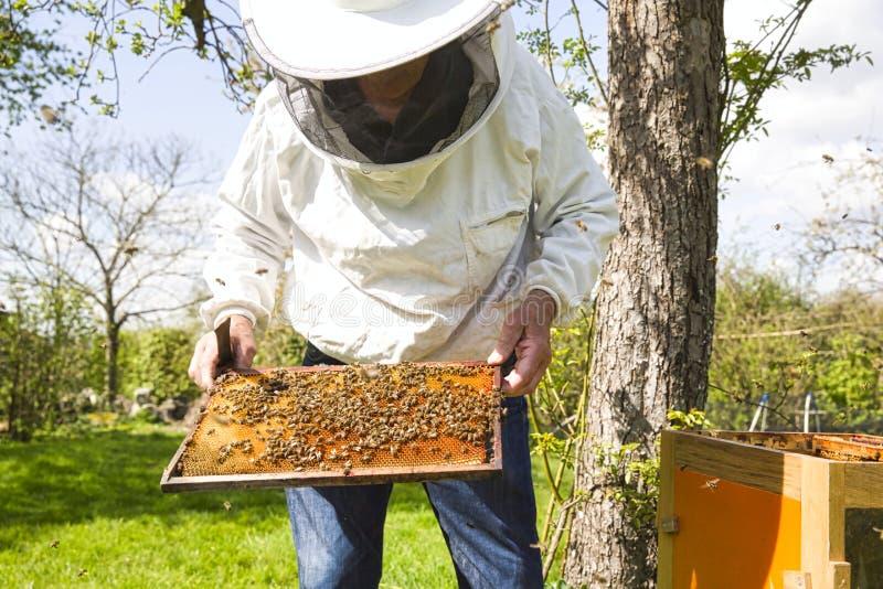 Imker schaut Schwarmt?tigkeit ?ber Bienenwabe auf Holzrahmen, Steuersituation im Bienenvolk lizenzfreie stockfotos