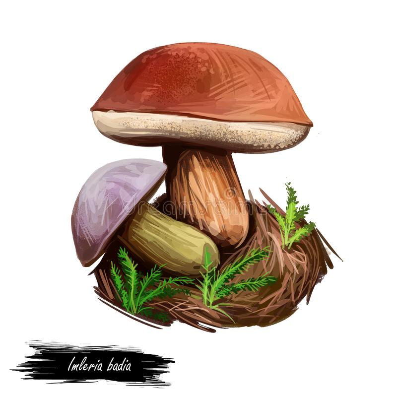 Imleria badia bay bolete, to jadalny grzyb, który można znaleźć w Europie i Ameryce Północnej odizolowany na białym. abstac ilustracji