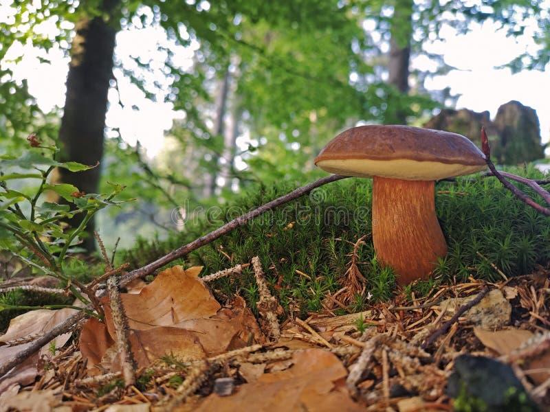 Imleria badia - edible mushroom. Fungus in the forest. close up.  royalty free stock photos