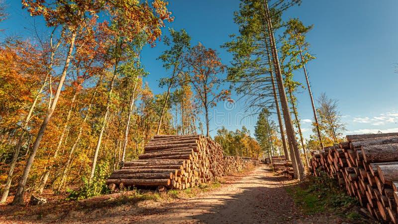Immagazzinato nello sradicamento di alberi della foresta in primavera, la Polonia immagine stock