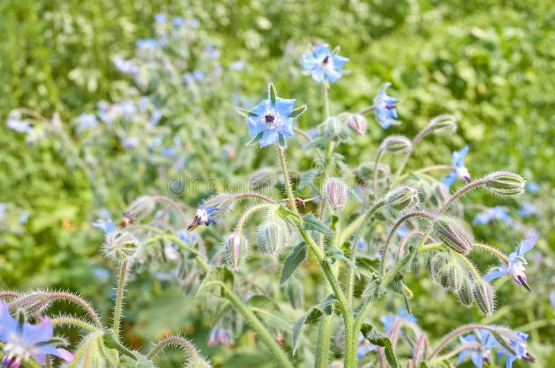 Immagine alta vicina del borago officinalis dei fiori della borragine immagini stock libere da diritti
