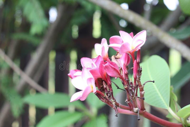 Immagine alta vicina dell'bei fiori sbalorditivi di plumeria immagini stock libere da diritti