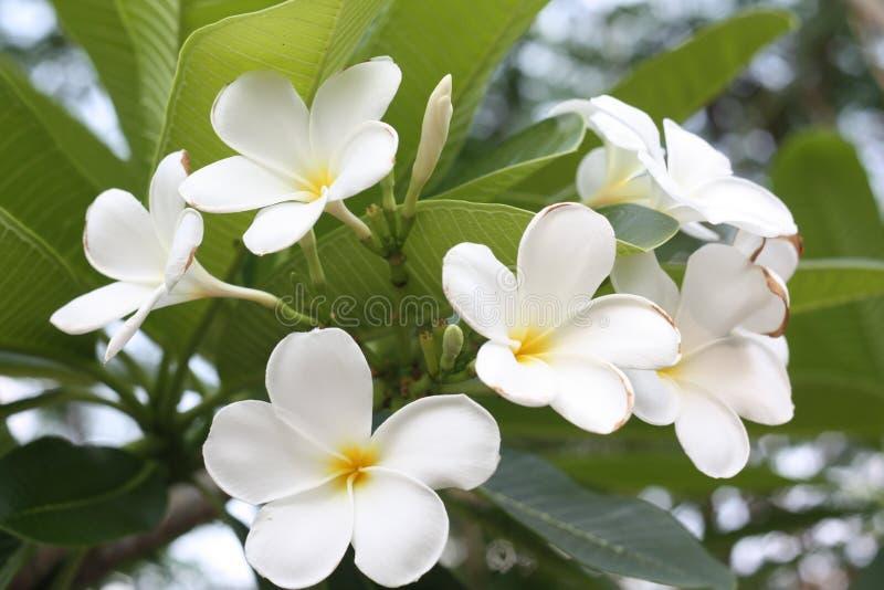 Immagine alta vicina dell'bei fiori sbalorditivi di plumeria fotografia stock libera da diritti