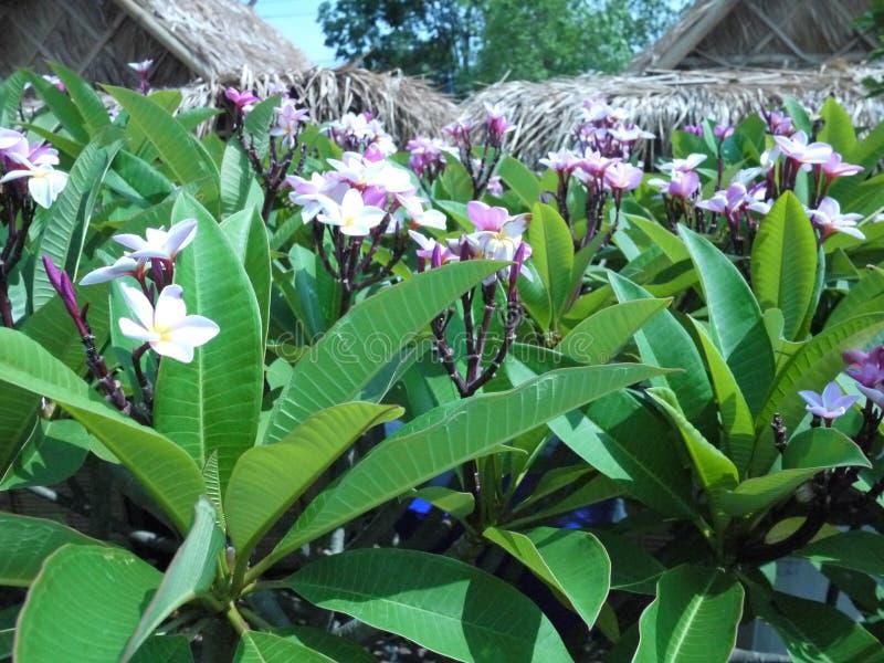 Immagine alta vicina dell'bei fiori sbalorditivi di plumeria immagine stock libera da diritti