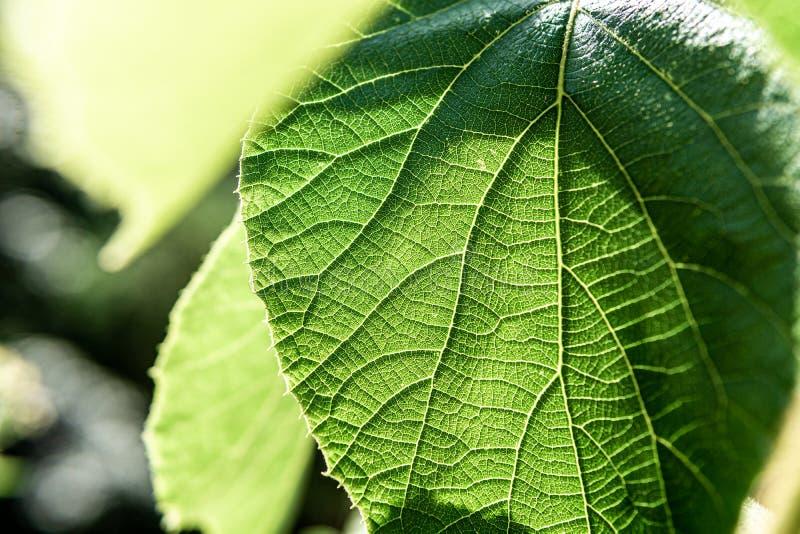 Immagine alta vicina della foglia verde con fondo soleggiato fotografia stock libera da diritti