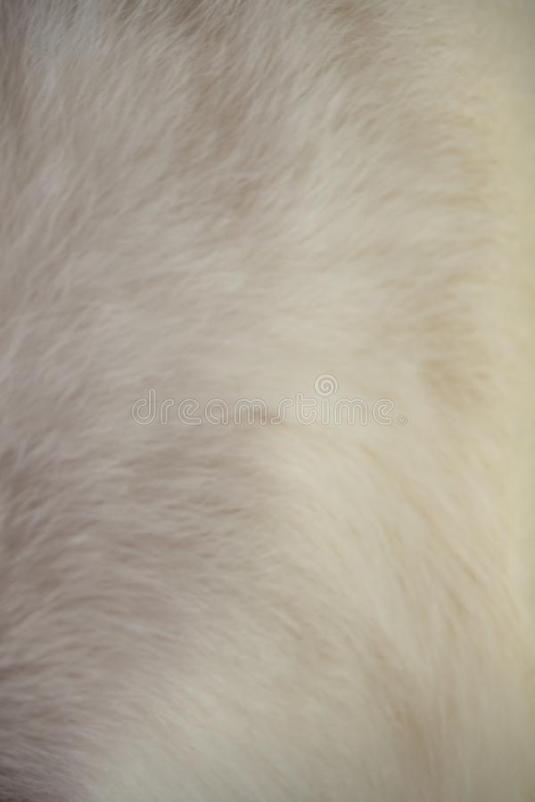 Immagine alta vicina della pelliccia molle del gatto fotografia stock