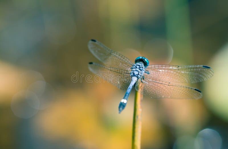 Immagine blu della libellula da dietro con il primo piano spanto delle ali che riposa su un piccolo bastone immagine stock