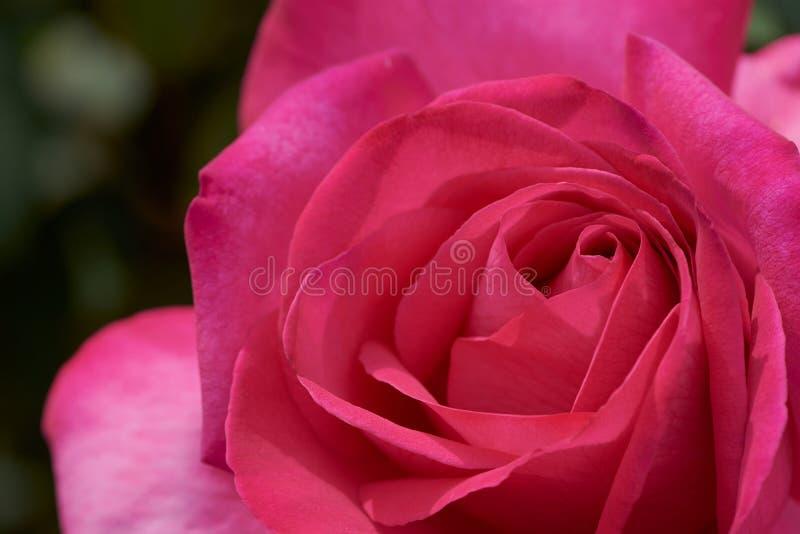 Immagine a colori alta vicina della rosa rosa con il nome: Parola d'onore fotografie stock