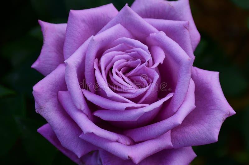 Immagine a colori della rosa viola: Blu di Mamy fotografie stock