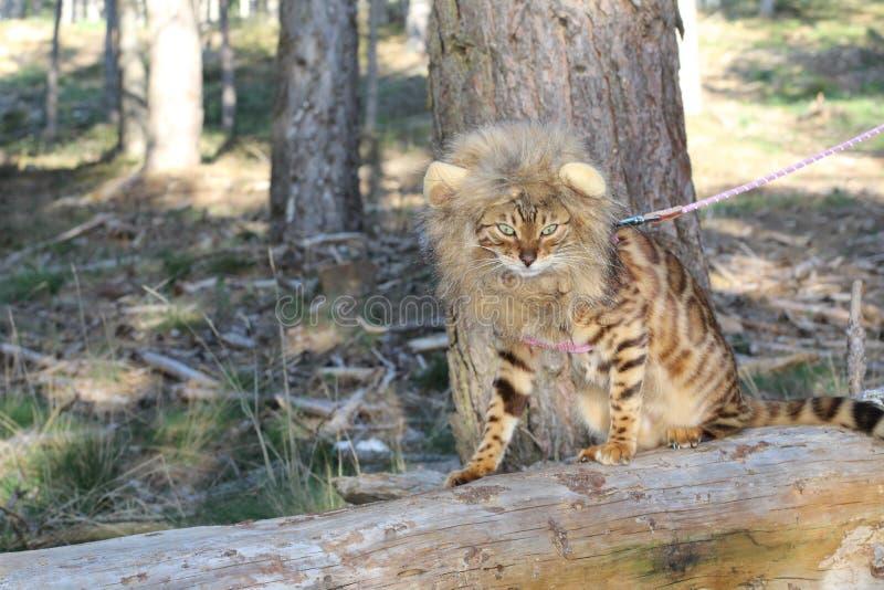 Immagine da commedia del gatto con una parrucca fotografia stock libera da diritti