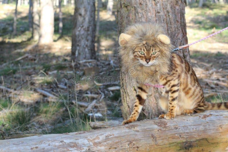 Immagine da commedia del gatto con una parrucca fotografie stock