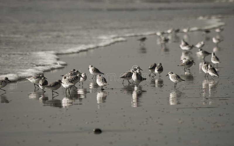Immagine degli shorebirds durante la marea bassa fotografia stock libera da diritti