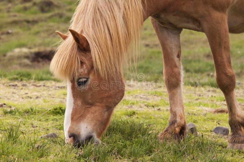 Immagine dei cavalli islandesi immagine stock