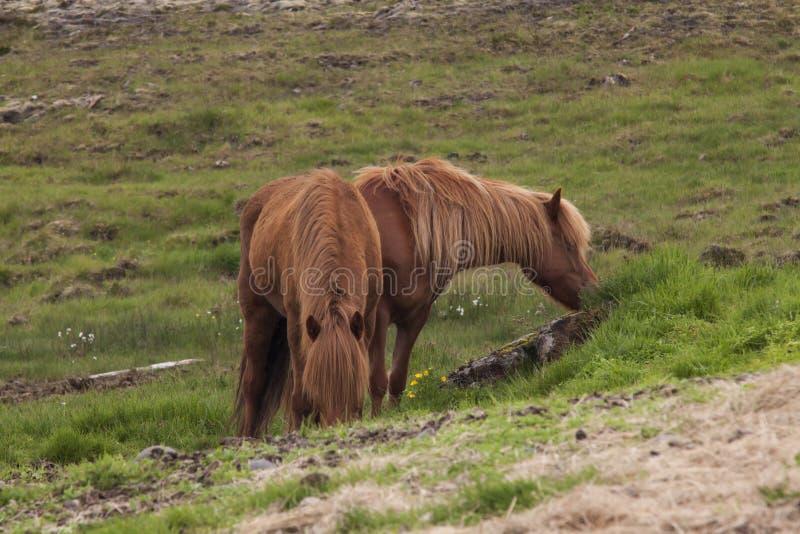 Immagine dei cavalli islandesi fotografie stock