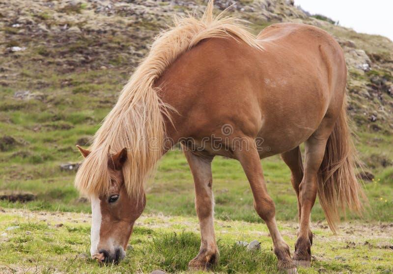 Immagine dei cavalli islandesi fotografia stock