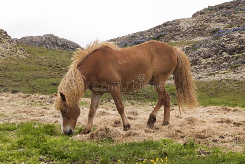 Immagine dei cavalli islandesi fotografia stock libera da diritti