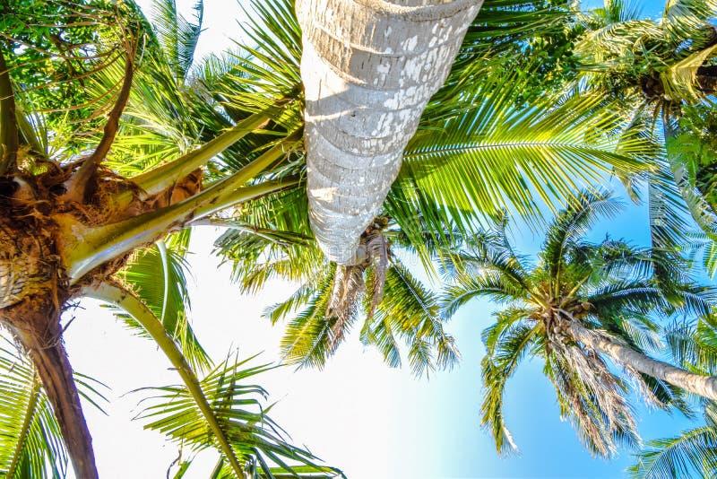 Immagine dei cocchi dal tronco alla cima, cocco nel pomeriggio al giardino fotografia stock