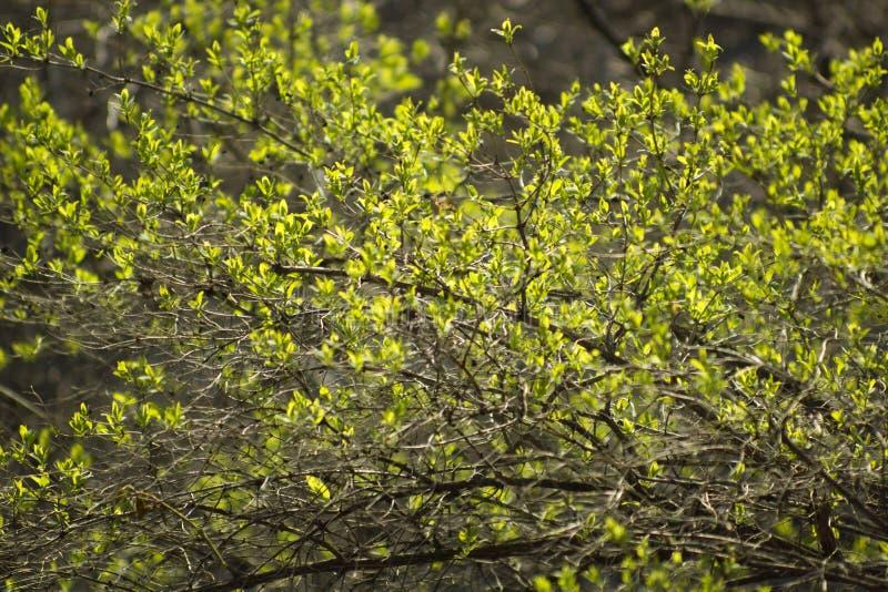 Immagine dei rami del cespuglio con il fondo in anticipo della molla delle foglie verdi fresche fotografia stock