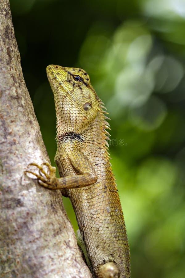 Immagine del camaleonte o della lucertola sul fondo della natura fotografie stock libere da diritti