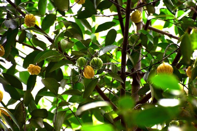 Immagine del cambodgia sviluppata in un albero di cambodgia fotografia stock libera da diritti