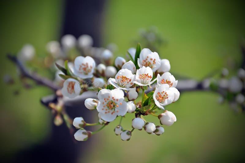 Immagine del fiore della prugna fotografia stock