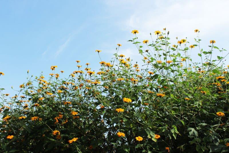 Immagine del fiore del sole con sfondo blu fotografia stock libera da diritti