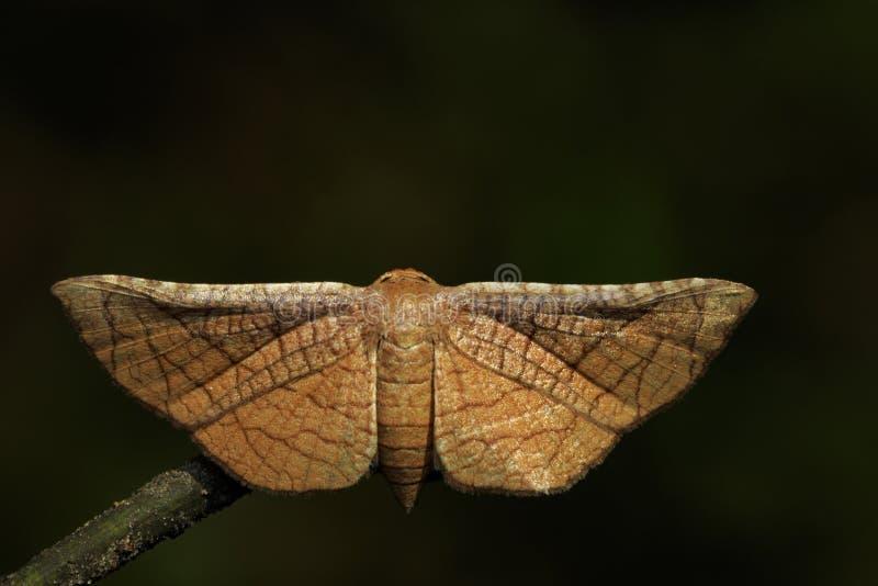 Immagine del Lasiocampidae del lepidottero della farfalla di Brown fotografia stock libera da diritti