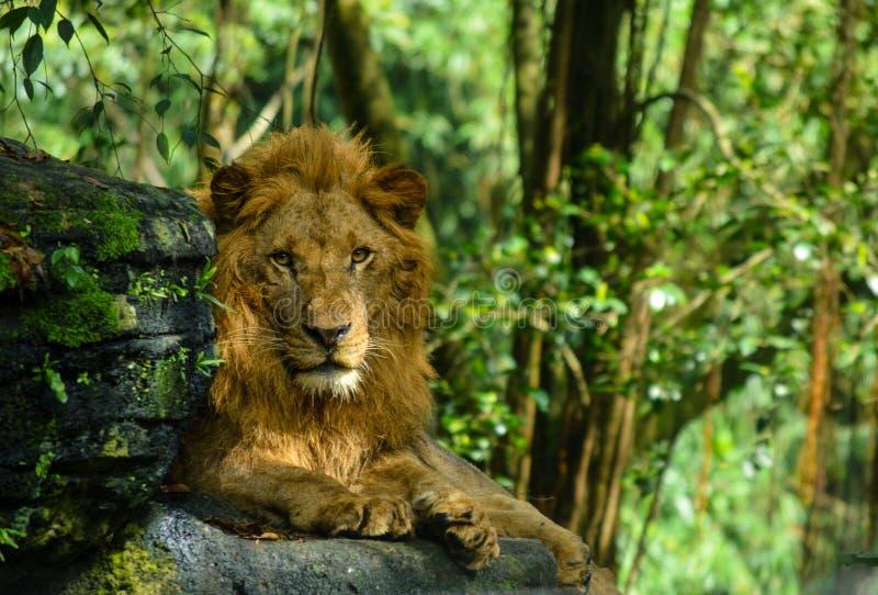 Immagine del leone che si siede sulla roccia nella foresta fotografia stock libera da diritti