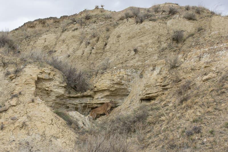 Immagine del paesaggio del leone di montagna alla tana immagine stock libera da diritti