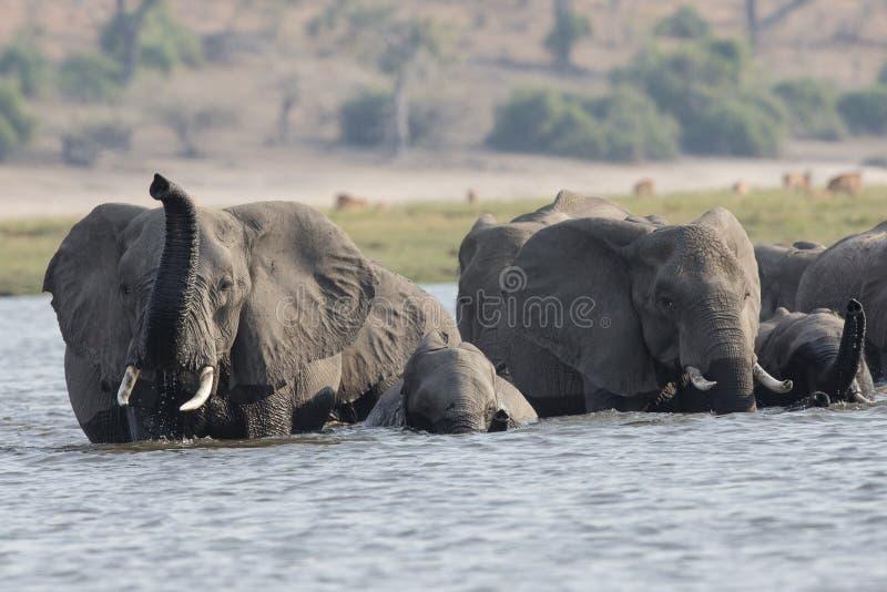 Immagine del primo piano degli elefanti che attraversano fiume fotografia stock libera da diritti
