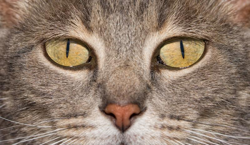 Immagine del primo piano degli occhi di un gatto blu del soriano, fotografia stock