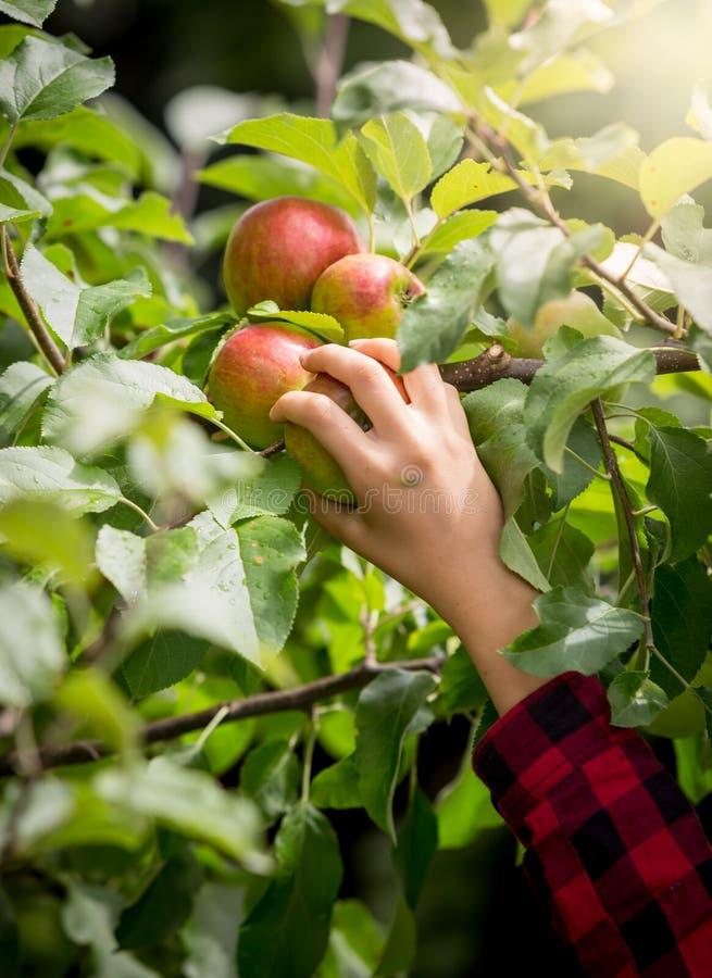 Immagine del primo piano della mano femminile che seleziona mela rossa fresca dal ramo di albero immagini stock