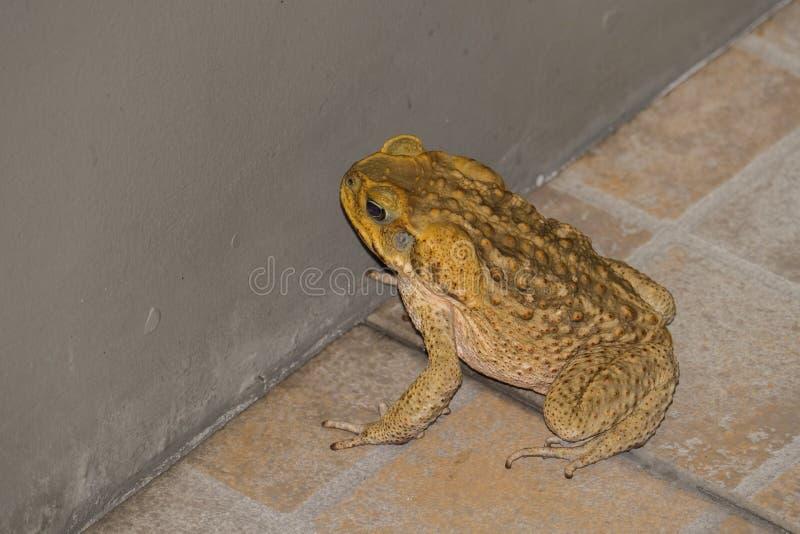 Immagine del primo piano della rana toro gialla di colore fotografie stock