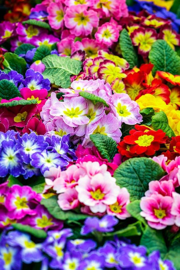 Immagine del primo piano di bei fiori Fondo floreale variopinto per accogliere o le cartoline fotografie stock