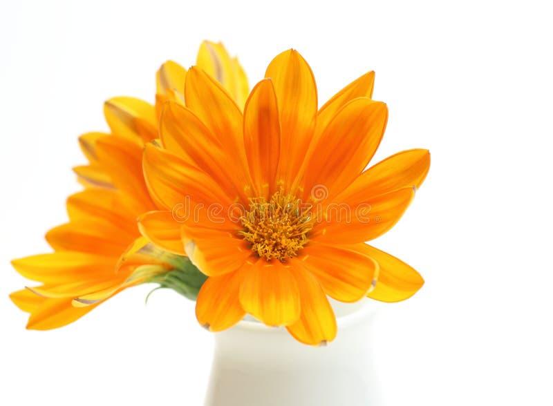 Immagine del primo piano di gazania arancio in un vaso fotografia stock libera da diritti
