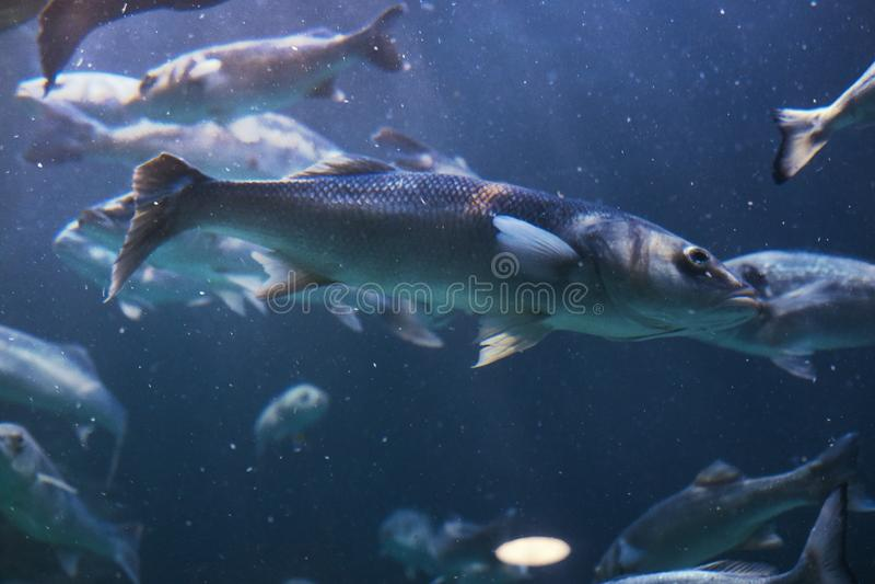 Immagine del primo piano di un pesce del gruppo subacqueo Isole filippine immagini stock