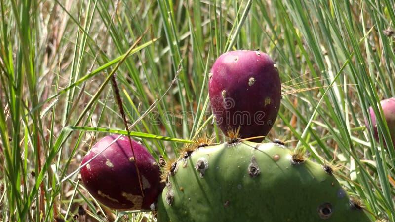 Immagine del primo piano di una frutta del cactus immagine stock