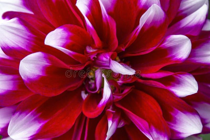 Immagine del primo piano del fiore della dalia fotografie stock libere da diritti