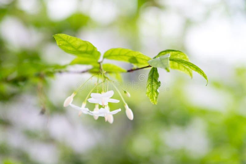 Immagine del primo piano del fiore del mok con l'albero fotografie stock