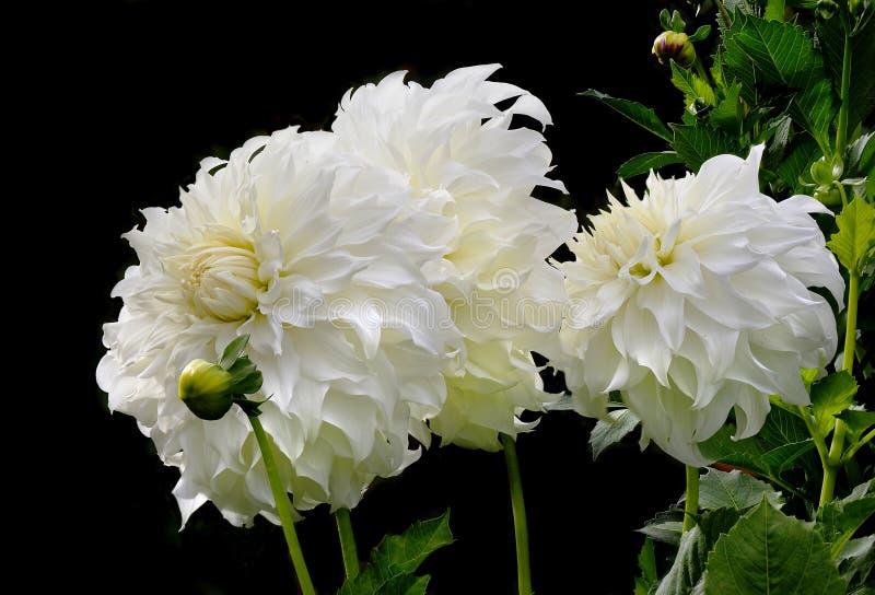Immagine del primo piano impilata fuoco di Dahlia Blossoms bianca sul nero fotografia stock libera da diritti