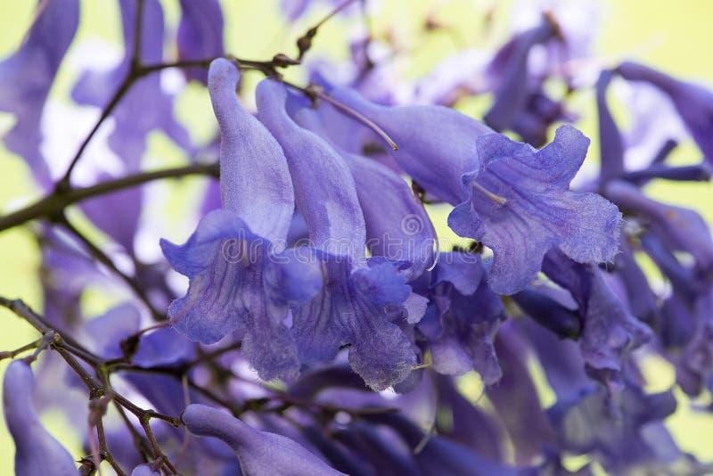 Immagine del primo piano porpora dei fiori dell'albero del Jacaranda macro immagine stock libera da diritti