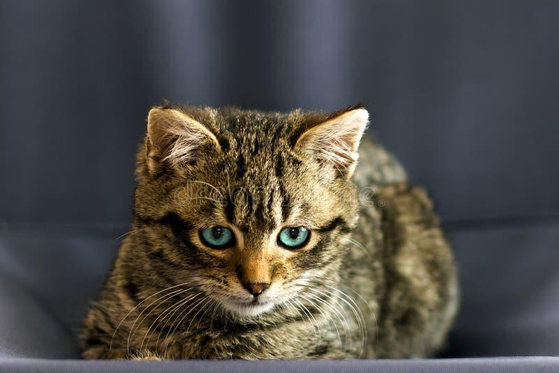 Immagine del primo piano del ritratto sul piccolo gatto con gli occhi azzurri fotografie stock